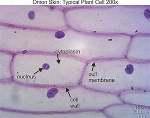 Microscope Onion Cell Labeled