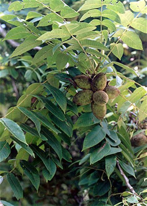 butternut tree  facts  butternut trees
