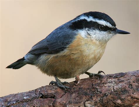 file red breasted nuthatch 3c jpg wikipedia