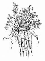 Carrot Coloring Pages Vegetables Garden Carrots Printable Colouring Sheets Para Colorear Ws Coloringhit Flowers Recommended Adult Fun sketch template