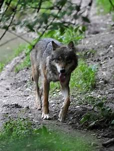 Little Wolf München : munich zoo large carnivores home schnitzelbahn food travel and adventures in germany ~ Orissabook.com Haus und Dekorationen