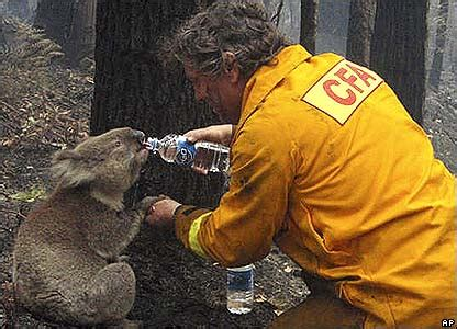 cbbc newsround pictures  pictures koalas rescued
