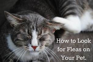 what do cats like does your pet fleas here s where to look