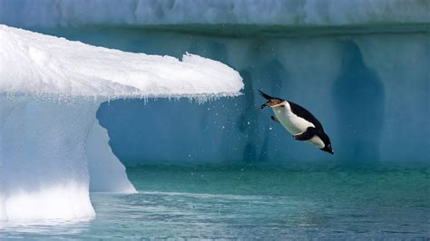 penguin jumping  water wallpaper hd wallpapers