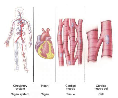 organs   circulatory system