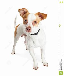Little White And Brown Dog Looking Forward Stock Image ...