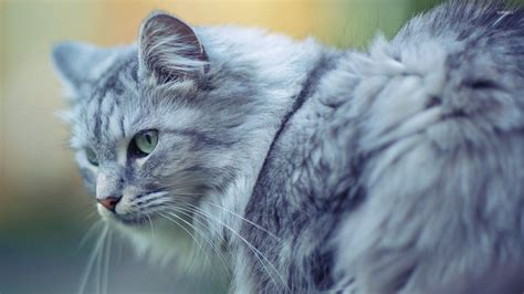 Grey Animal Wallpaper - gray cat 2 wallpaper animal wallpapers 33401