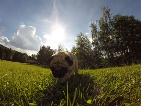 Free Images : nature, forest, flower, dog, reptile, pug ...