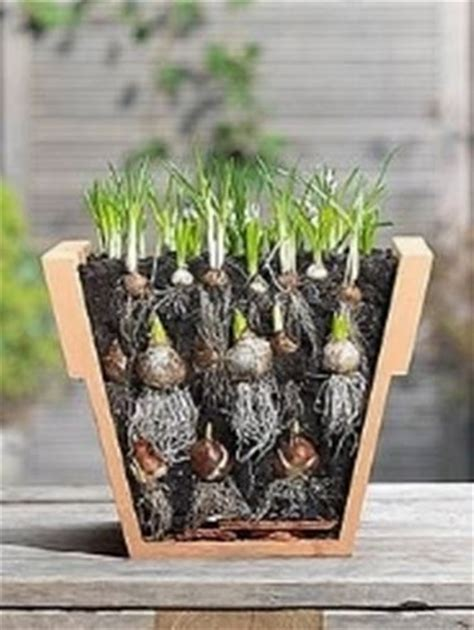 scegliere degli ottimi bulbi  il giardinaggio piante