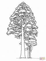 Sequoia Redwood Coloring Giant Tree Pine Pages Printable Trees Cedar Cone Drawing Adult Colouring Drawings Sketch Template sketch template