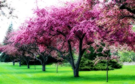 images flowering trees index of wallpaper 1680x1050