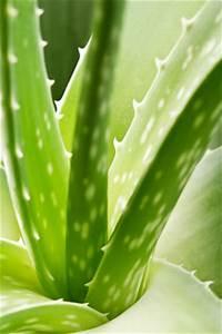 Aloe Vera Essen : aloe vera pflanze pflege anleitung ~ Markanthonyermac.com Haus und Dekorationen