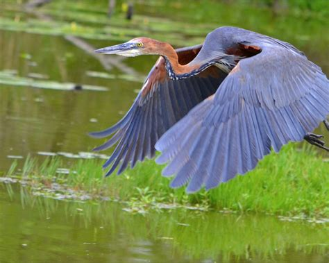 Here you can find the best phoenix bird wallpapers uploaded by our community. Great Blue Heron Bird In Flight Desktop Wallpaper Hd For Mobile Phones And Laptops ...