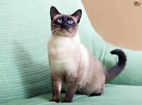 cat cat 7 gorgeous breeds of colourpoint cats pets4homes