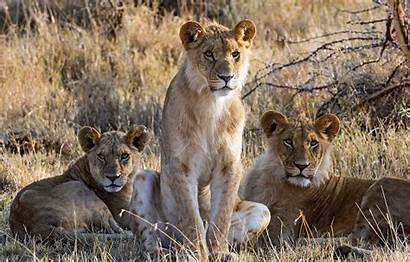 Trio Lions Nature Telegram вконтакте