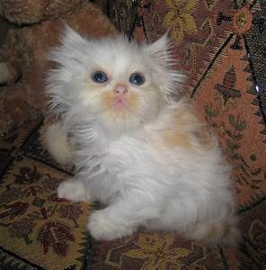 Silver Tabby Persian Galleryhip The Hippest Galleries ...