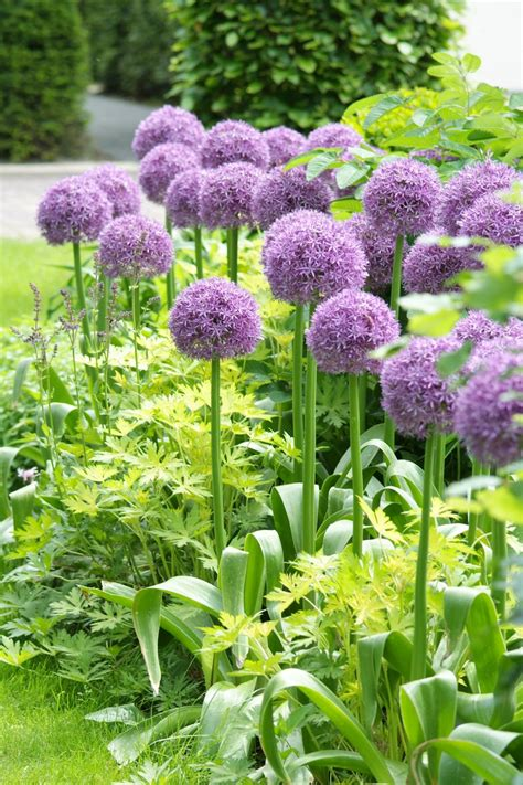 what are alliums 18 favorite bulb flowers for year round color hgtv