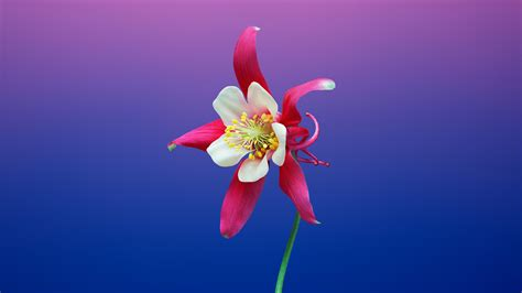 wallpaper aquilegia ios  iphone  iphone  stock hd