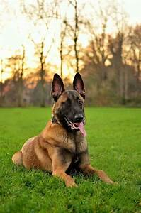523 best Belgian malinois images on Pinterest | Belgian ...