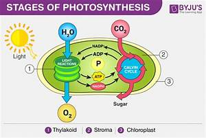 Photosynthesis  U2600 Ufe0f  Definition  Process  Stages  U0026 Significance