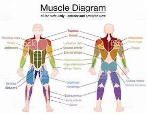 Muscle Diagram Most Important Muscles Of An Athletic Male Body Anterior And Posterior View