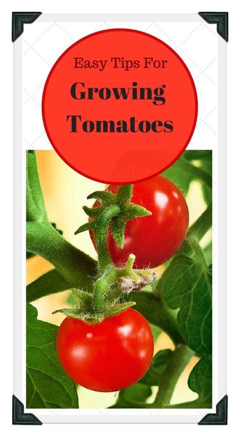 growing tomatoes   vegetable garden