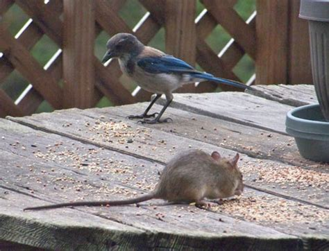best 28 do mice eat bird seed top 28 what do mice eat