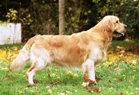 golden retriever tout sur la race de chien golden retriever