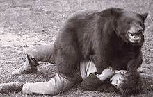 Antique Bear Attack Sleeping Bag Pict Trained Bear There Have Been Instances Of Bears Killing Their Trainers