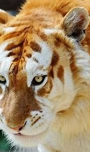 Prolonging me : Time To Speak UP !!: Golden Tigers
