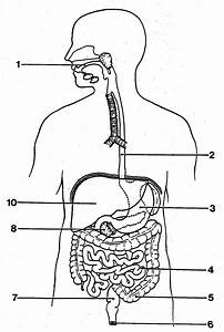 Digestive System Diagram Worksheet For Kids