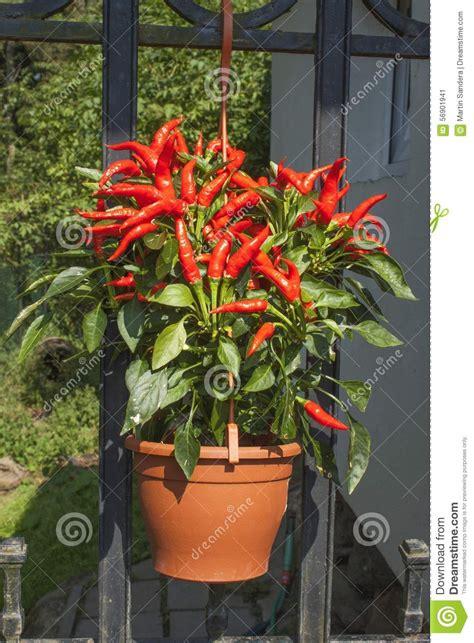 culture poivron en pot culture domestique des poivrons de piments rouges dans un pot poivrons de piments dans les