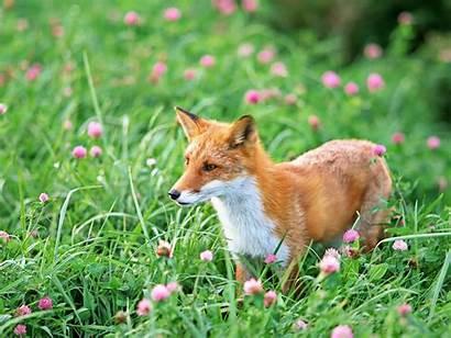 Fox Adorable Wallpapers Desktop Jackal Spring Meadow
