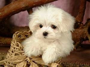 Lovely Little White Fluffy Puppy 1920*120015 - Wallcoo.net