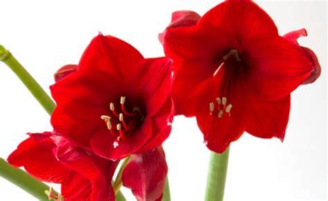 fiori gialli invernali amaryllis il bulbo da far fiorire anche a natale leitv