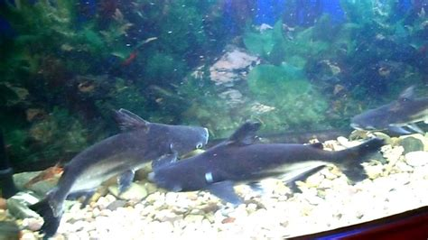 3 paroon sharks freshwater aquarium with 5 lobster