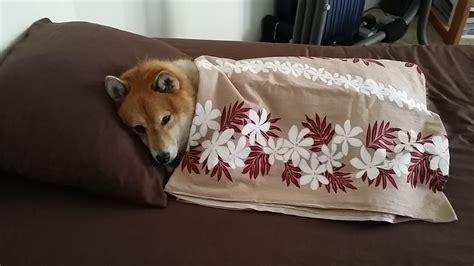 sleepy shiba inu shiba love fest
