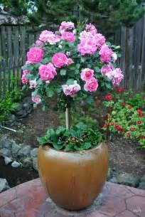 besten rosen im kuebel bilder auf pinterest