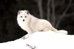 Arctic Fox Wallpapers Hd Download