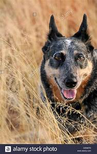 A 5-year-old female Australian Cattle Dog, or Queensland ...