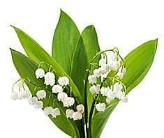 giftpflanze maigloeckchen gesundcoat