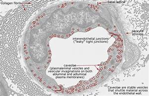 Hls   Ultrastructure Of The Cell  Continuous Capillaries