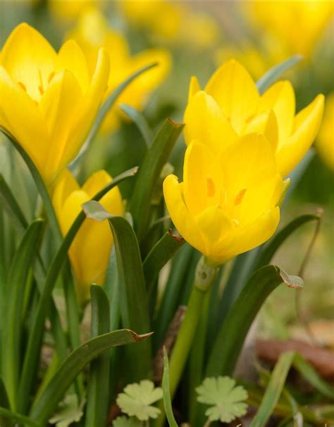 sternbergia lutea herbst goldbecher kaufen de warande