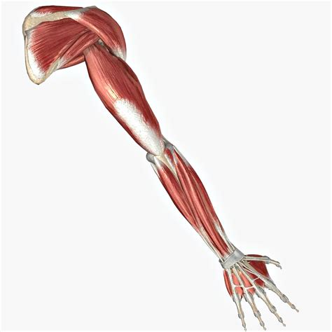 The muscles actively work to produce. 3ds max arm muscles bones ligaments