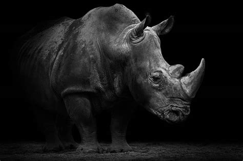 Black and White Photography Rhino