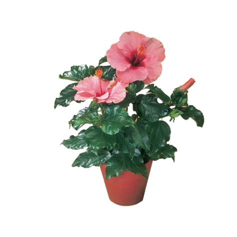 hibiscus quot china quot rona