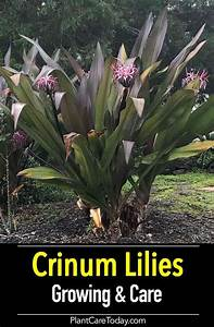 awesome tips on how to grow crinum plants plants