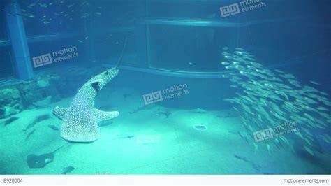 5of 10 fish whale shark animals at osaka aquarium japan asia stock footage 8920004