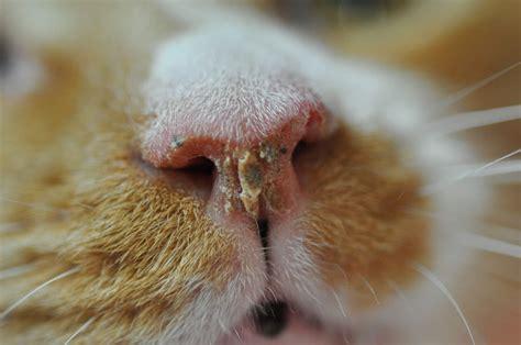 Cat Man Do Dr Arnold Plotnick Chronic Rhinosinusitis