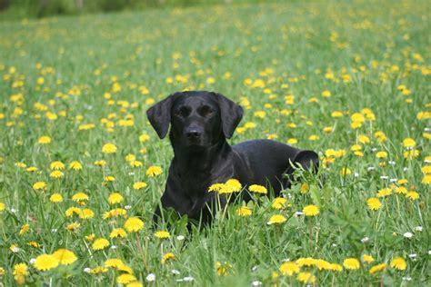 cotti labrador retriever zucht